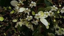 Rare Chinese tree flowers in Roath Park