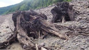 hedgerow stumps