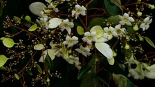 Rare Chinese tree flowers for the first time in a century