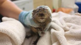 Water vole found washed up on Burnham beach