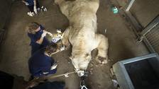 Polar bear Victor is given an allergy test at the Yorkshire Wildlife Park near Doncaster.