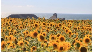 The spectacular sunflower field in Rhossili that's seen people flocking to take selfies