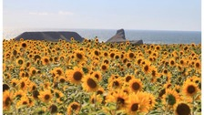 The sunflower field in Rhossili that's seen a spike in visitors