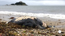 Leatherback Turtle found on Marazion beach died with  plastic in stomach