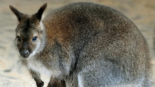 Wallaby spotted near supermarket after escaping from zoo
