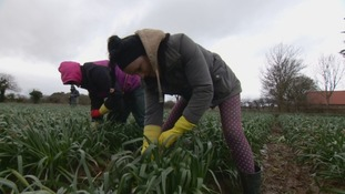 Farm worker numbers continue to fall in Jersey