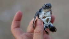 The remarkable comeback of endangered turtles
