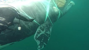 Chilean Navy divers travel more than 2000 miles to free whale caught in fishing nets