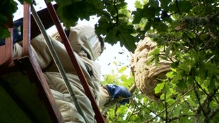 A large Asian Hornet nest has been destroyed in Jersey this afternoon.
