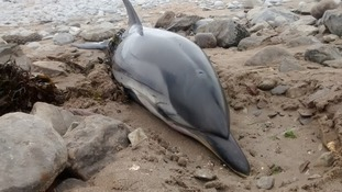 Dolphin South Wales