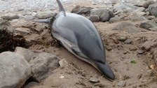 A seriously ill dolphin has been put down after beaching in South Wales