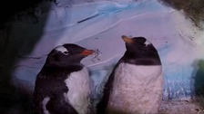 When Gentoo Penguins moult, they shed their feathers all at once.