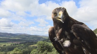 Three golden eagles released in south of Scotland