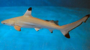 pic of shark