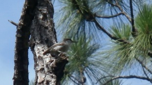 British students spot rare Bahama Nuthatch by using recording of its distinctive birdsong