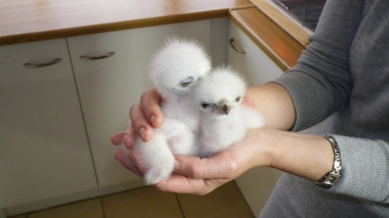 Chicks in person's hand