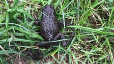 The toad had a lucky escape thanks to the RSPCA.