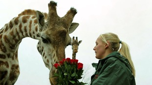 Keeper Lisa Watkins gives Henry the giraffe a bunch of roses as a Valentine's treat at West Midlands Safari Park, Bewdley