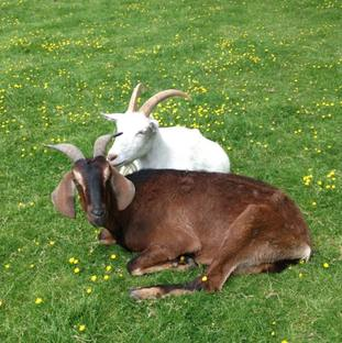 Goats at the Buttercup Sanctuary in Boughton Monchlesea, Kent.