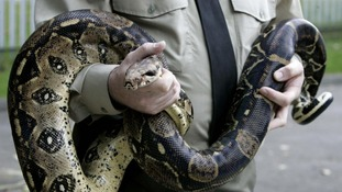A boa constrictor has reportedly been spotted in woods in Essex.