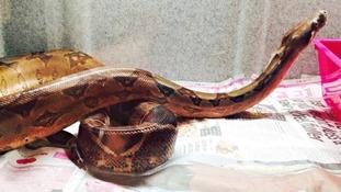 Boa constrictor 'Snake'.