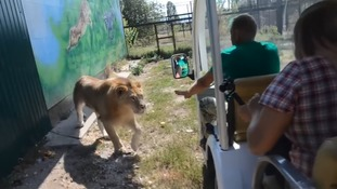 Lion has a surprising reaction to tourists at Taigan Safari Park in Crimea