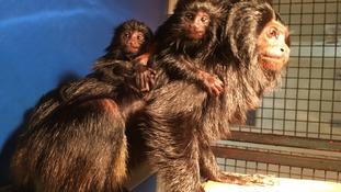 Endangered monkeys born at Durrell