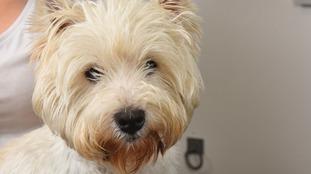 West Highland white terrier Buddy.