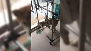 Braveheart had to undergo rehabilitation to learn to walk again.
