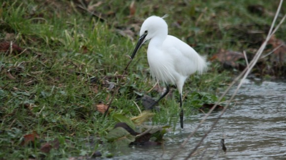 A Little Egret at Writtle