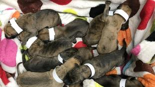 Litter of 10 puppies found dumped in lay-by