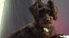 Lola the Schnoodle dog was stolen during a burglary in Mansfield.