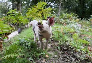 pigs wandering around in the New Forest hunting for acorns