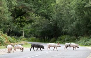 Pigs on the hunt for acorns during Pannage