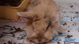 Dumped rabbit found near Knighton