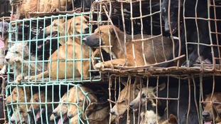 Dogs kept in a cage in Vietnam.