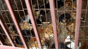 Dogs are kept in a cage of a wholesale supplier of live dogs, one of the biggest in town, in Hanoi, Vietnam.