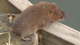 Water Voles return to Exmoor home