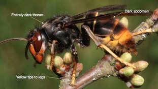 A guide to identifying Asian hornets.