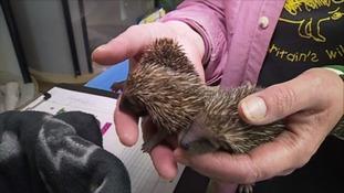 Hedgehog hospital