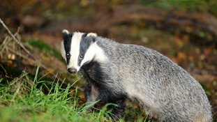 Cumbria has been added to the list of areas where controversial badger culling has been approved.