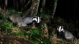 Badger cull extended to Cumbria