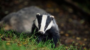 New Badger culls in Cheshire and Cumbria