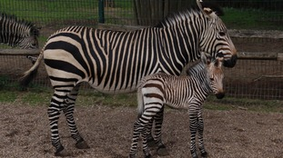 Zoo celebrates 'miracle' birth of extremely rare baby zebra