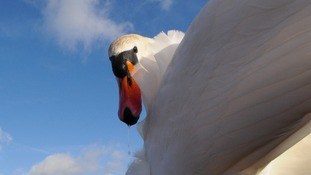 A male swan at Ackers Pit in Stockton Heath