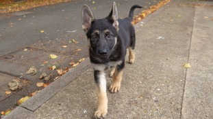 Trainee police dog Bryn was paid for through a Facebook group of retired and current police officers.