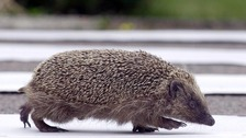 Hedgehog numbers 'worryingly low' say scientists