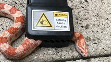 Snake rescued after slithering into a mousetrap
