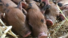 Farm begs for safe return of piglets snatched by thieves
