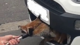 Fox rescued from car grille after being trapped for 12 hours